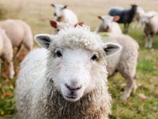 Førende klippemaskiner til får